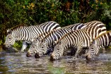 Tanzania: Serengeti National Park, near Seronera, five Burchell's zebras ('Equus burchelli') drinking in river,