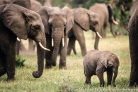 Tanzania: Lake Manyara National Park, matriarchal herd of African elephants ('Loxodonta africana') with newborn,