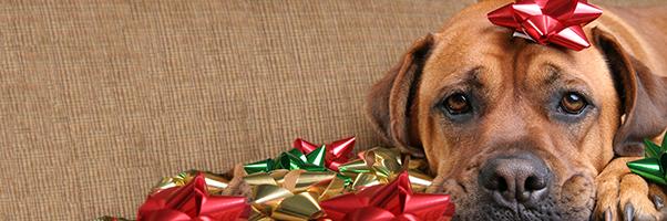 A sad dog with a holiday bow.
