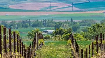 A vineyard in Walla Walla