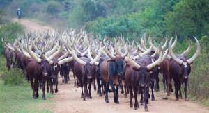 Long-Horned Ankole Cattle along the road in Uganda