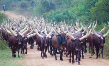 Long-Horned Ankole Cattle along the road in Uganda