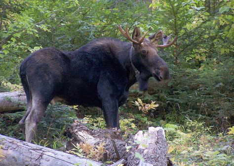 OREGON'S MOOSE POPULATION WAS LAST ESTIMATED AT 75 OR SO. (PAT MATTHEWS, ODFW)