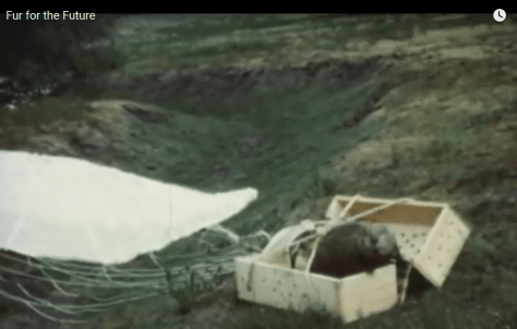 "A BEAVER EMERGES FROM THE CRATE IT WAS PARACHUTED INTO THE IDAHO BACKCOUNTRY, IN AN IDFG FILM CALLED ""FUR FOR THE FUTURE"" WHICH WAS RECENTLY FOUND IN THE AGENCY'S ARCHIVES. (IDFG)"