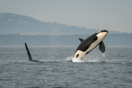 Sport Fishing Reaction To Final Orca Recommendations Sent To Gov