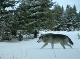 ODFW Posts Revised Draft Wolf Plan For Comment Ahead Of June Commission Vote