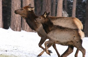 Study On Wolf Pack Size And Elk Survival Spotlights Strong Cougar Impact