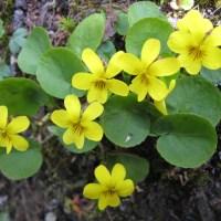 Evergreen Violet aka Round Leaved Violet (Viola orbiculata)