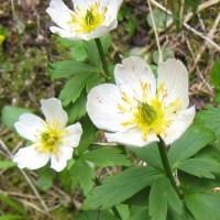 White Globe Flower (Trollius albifloris)