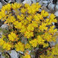 Cascade Stonecrop (Sedum divergens)