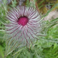 Indian Thistle (Cirsium edule)