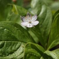 Broad-Leaf Star Flower (Trientalis latifolia)