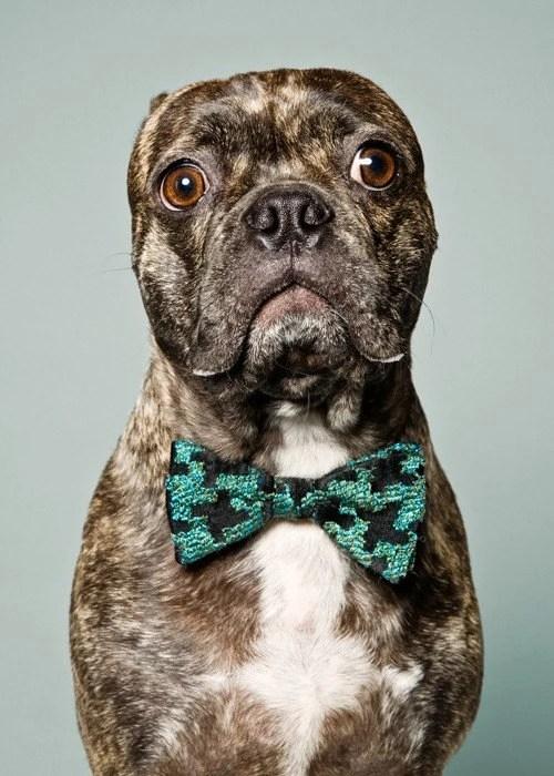 Murdoch - Brindle Pug Boston Terrier Mix wearing vintage bow tie