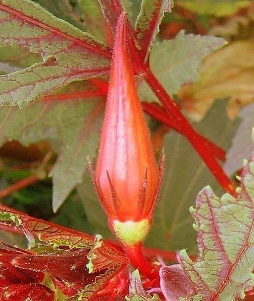 Heirloom Hill Country Red Okra Seeds