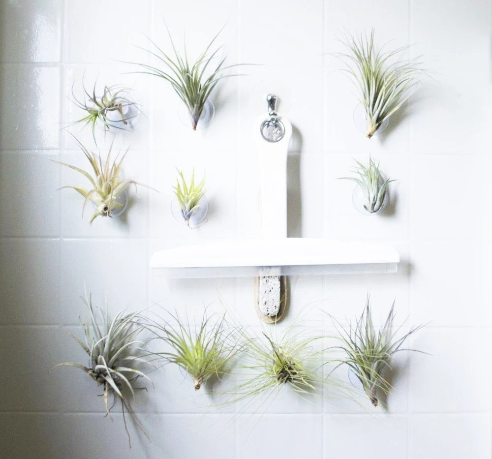 Suction Succulent // Medium sized air plant on Cup
