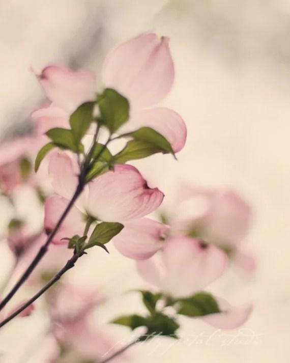 Pink Dogwood Flowers . Fine Art Photograph . Floral Art . 8x10 Print