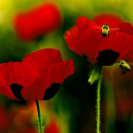 Fine art flower photograph by Raceytay on Etsy, Poppies