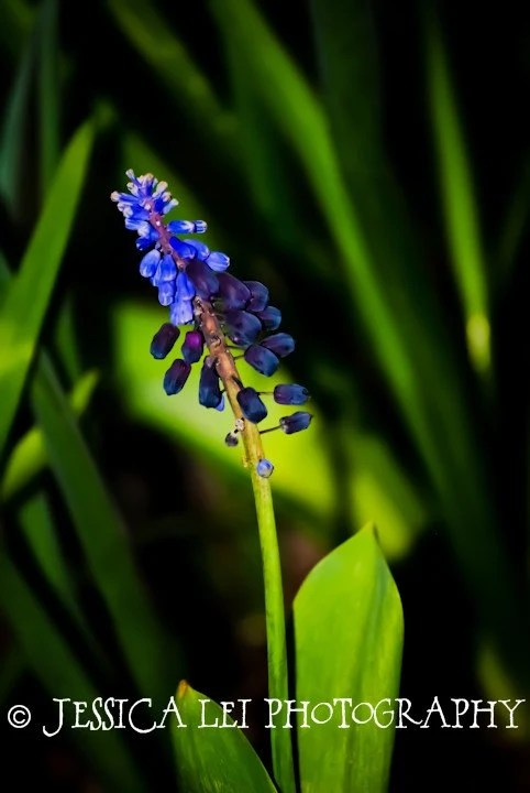 Muscari - Spring Bulbs Collection - 8x10 photographic print