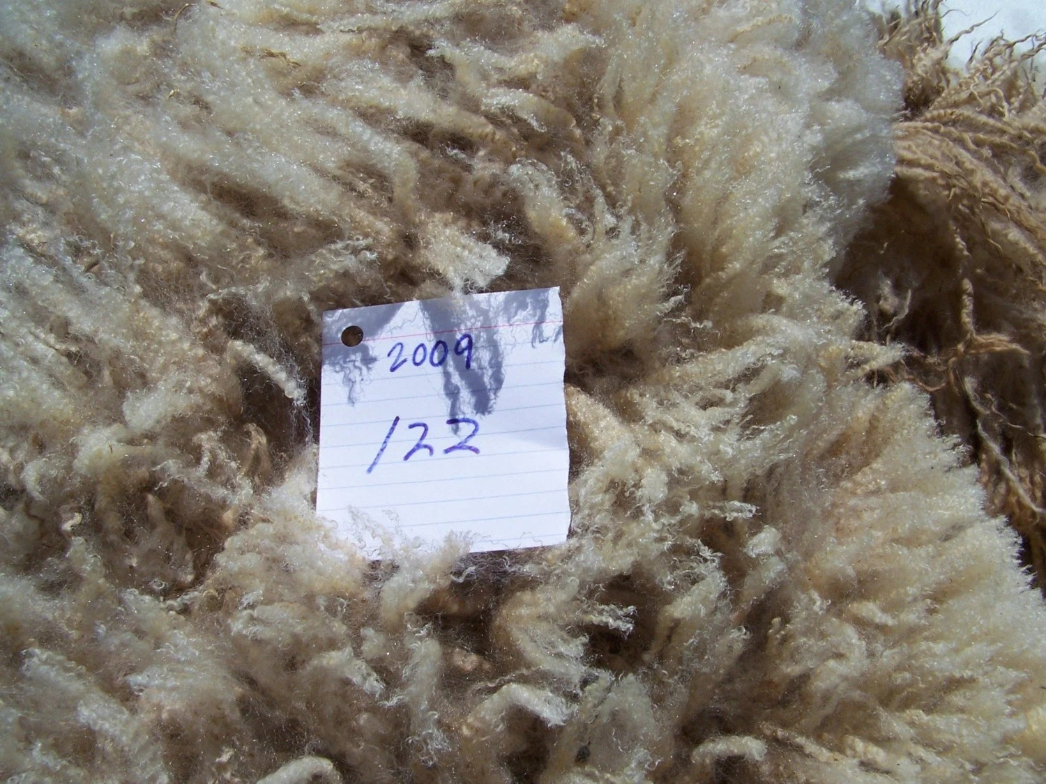Border Leicester Fleece Fresh off the Sheep