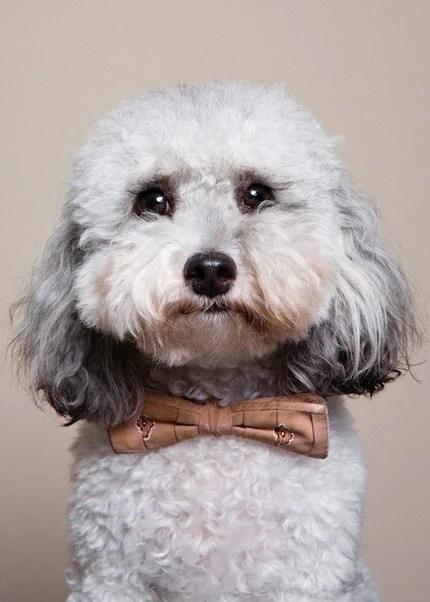 Reggie - Malti Poo wearing vintage bow tie