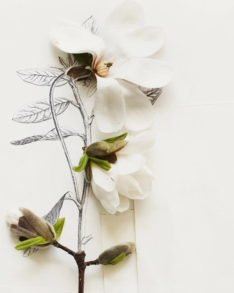 Magnolia and flower illustration no. 6692