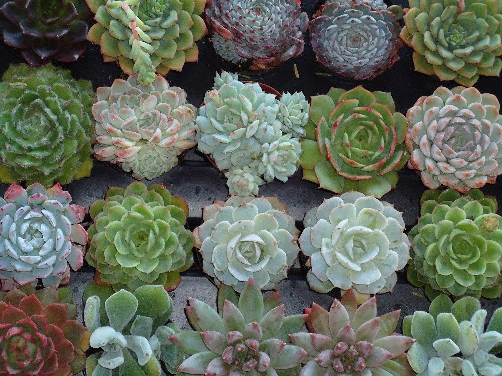 Creations And Inspirations Succulent Love