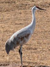bda-sandhill-crane