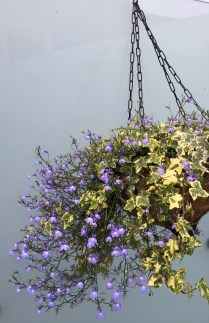Our hanging basket this year way surpasses last year's.