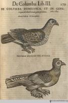 Pigeons from Gesner's Historia Animalium, Liber III.