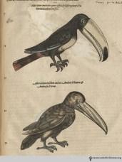 Toucans from Gesner's Historia Animalium, Liber III.