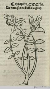 Anthropomorphic narcissus from Hortus sanitatis des herbes, ca. 1497.