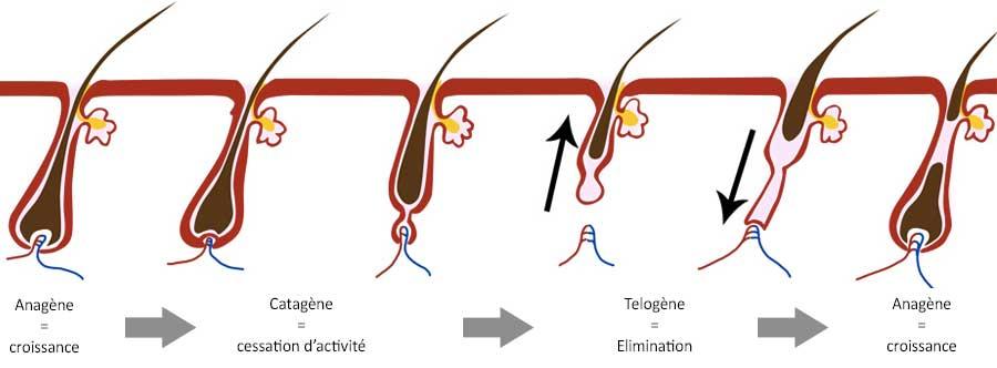 les différentes phases de croissance du cheveux