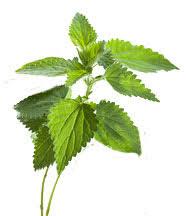 l'ortie piquante est une plante médicinale utilisé pour la pousse des cheveux