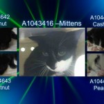 MITTENS A1043416 and kittens