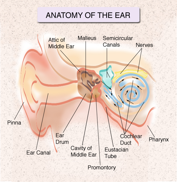 27 Ear Nose And Throat Anatomy Diagram - Wire Diagram ...