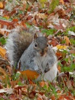 Squirrel - Staten Islander
