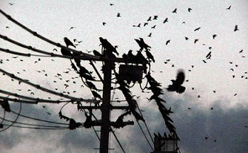 Image result for crows in the city