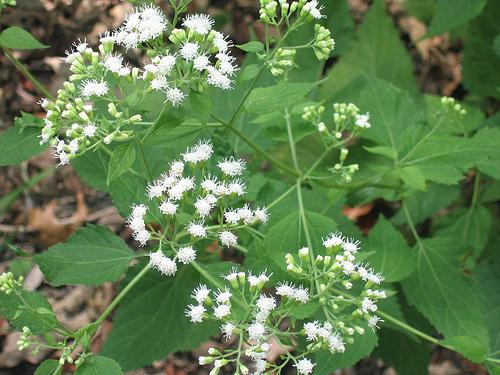 Ageratina altissima var. altissima/White Snakeroot
