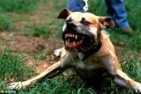 pitbull angry