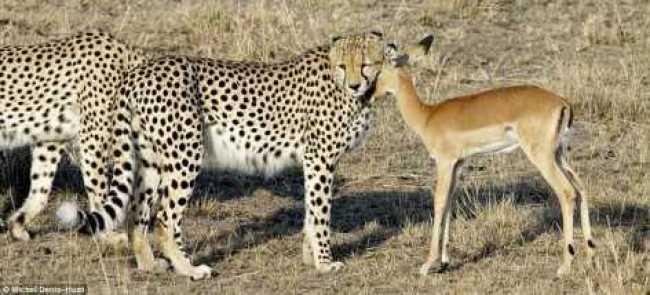 cheetah-oryx1