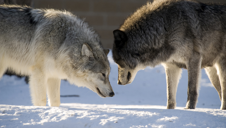 two-wolves-facing-off