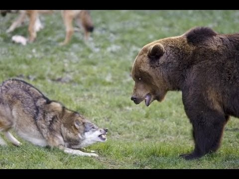 wolf faceoff