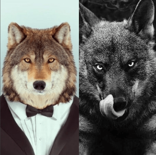 tame-real-wolf