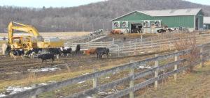 cows-300×141