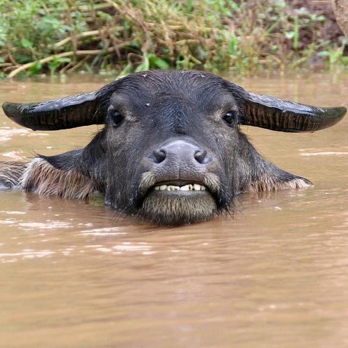 laos-buffalo-photo-by-natmanda.jpg