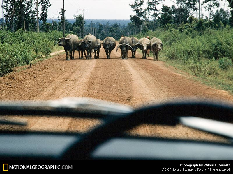 laos-water-buffalo-145880-sw1.jpg