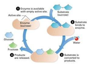 Factors affecting enzymes | Nygma Science