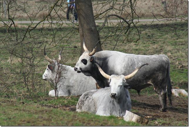 Ungarsk grå okse (4)
