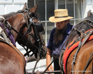 Amish man tending to his horses