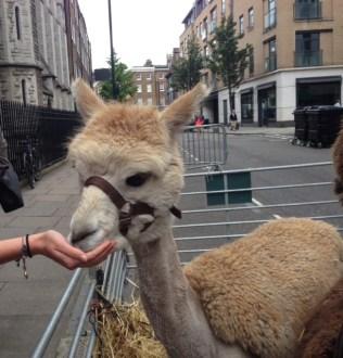 feeding llamas in marylebone